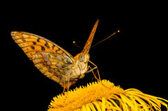 Schmetterling Mesoacidalia Aglaia trinkt Nektar von einer Blume Lizenzfreie Stockfotos