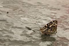 Schmetterling mit dem geschlossenen aufwändigen Flügel-Trinken Stockbild