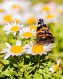 Schmetterling mit den orange und weißen Stellen auf Flügeln auf weißer Blüte Stockfotos