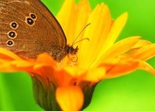 Schmetterling mit der Proboscis, die auf einer Blume sitzt Lizenzfreies Stockbild