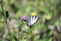 Schmetterling mit der schneeweißen niedrigen Farbe mutig markiert mit den schwarzen Tiger ähnlichen Streifen, die von der Vorderk stockfotografie
