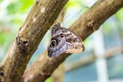 Schmetterling mit Eyespot auf Brown-Glied Stockfotos