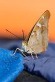 Schmetterling mit gelben Augen stockbild