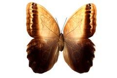 Schmetterling mit großen braunen Flügeln mit den Mustern, lokalisiert auf Weiß Lizenzfreie Stockfotos