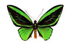 Schmetterling mit großen grünen Flügeln, Nahaufnahme, lokalisiert auf Weiß Lizenzfreie Stockbilder