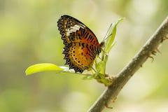 Schmetterling mit Schwarz-orange Flügeln Stockfotografie