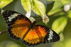 Schmetterling mit Schwarz-orange Flügeln Stockbilder