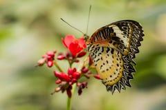 Schmetterling mit Schwarz-orange Flügeln auf roter Blume Stockfotografie