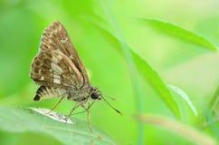 Schmetterling (Moore's Ace) in einer Seitenansicht als Fliegen wandernd Lizenzfreies Stockbild