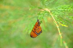 Schmetterling morgens Lizenzfreies Stockbild