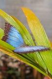 Schmetterling Morpho Menelaus lizenzfreie stockfotos