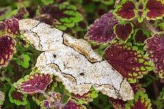 Schmetterling, Mottenrest auf den roten und grünen Blättern Stockfotos