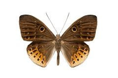 Schmetterling Nemeobiiidae Stockbild