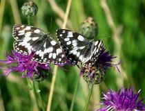 Schmetterling-Paare Lizenzfreies Stockfoto