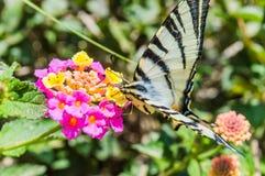 Schmetterling Papilio-machaon Lizenzfreies Stockbild