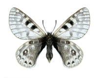 Schmetterling Parnassius-acco goergneri (Mann) Stockfotos