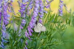 Schmetterling polinated violette purpurrote wilde Blumen auf Grün unscharfem Hintergrund Stockfotografie