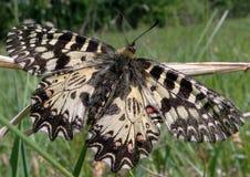 Schmetterling polyxene stockbild