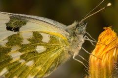 Schmetterling Pontia Daplidice, das auf einer Blume sitzt Stockfotos