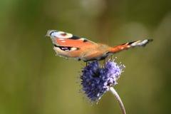 Schmetterling am purpurroten Blumensommertag Lizenzfreies Stockfoto
