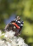 Schmetterling (Pyrameis-atalanta) Lizenzfreie Stockbilder