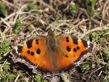 Schmetterling saß auf dem Gras im Frühjahr lizenzfreies stockfoto