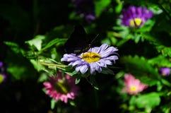 Schmetterling sammelt Nektar lizenzfreie stockfotos
