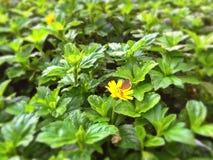 Schmetterling - Singapur-Gänseblümchen Stockfotografie