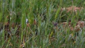 Schmetterling sitzt auf Blättern des Grases und fliegt stock video footage