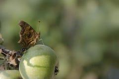 Schmetterling sitzt auf einem Apfel lizenzfreie stockbilder