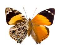 Schmetterling Smyrna Blomfildia Stockfotos