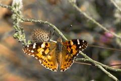 Schmetterling stellt sich auf einer Niederlassung heraus Lizenzfreie Stockbilder