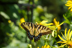 Schmetterling Swallowtail Nectar Garden Yellow Stockbild