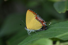 Schmetterling in Thailand Stockfoto