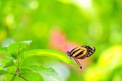 Schmetterling, Tiger Heliconian auf unscharfem Hintergrund Lizenzfreies Stockfoto