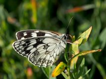 Schmetterling trocknet Flügel in einem Morgensonnenlicht stockfotos