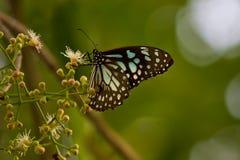 Schmetterling u. x28; Blaues tiger& x29; lizenzfreie stockfotografie