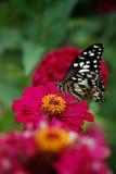 Schmetterling u. rosa Blume Stockfoto