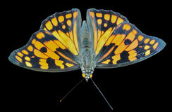 Schmetterling u. x28; Sephisa-dichroa& x29; 22 Stockfotos
