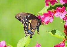Schmetterling und Ameise Swallowtail auf grünem Hintergrund Stockfotos