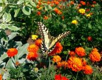 Schmetterling und Blumen Swallowtail lizenzfreies stockfoto