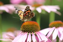 Schmetterling und Echinacea Stockbilder