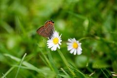 Schmetterling und Gänseblümchen Stockfotografie