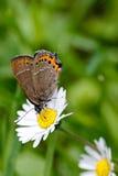 Schmetterling und Gänseblümchen Stockbild