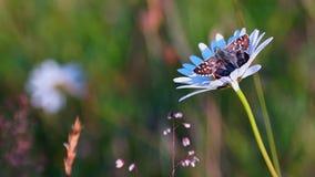 Schmetterling und Kamille stock video