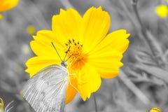 Schmetterling und Kosmos Sulphureus-Blume stockfotos