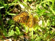 Schmetterling und Löwenzahn Lizenzfreie Stockfotografie
