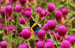 Schmetterling und purpurrote Blume Stockfotos