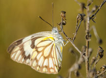 Schmetterling und Trockenblumen Stockfoto