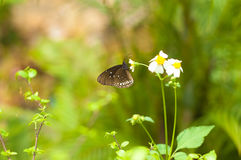 Schmetterling und weiße Kosmos-Blume Stockfotografie